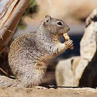 Photograph of Arizona squirrel, in profile, holding food and eating.