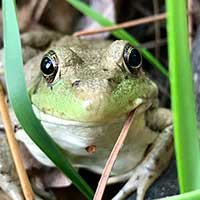Photograph of a large eyed green frog indiginous to Minnesota.