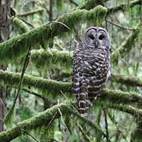 Photograph of grayish owl in Pacific Northwest forest, looking at camera.