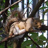 Photograph squirrel crawling on a Charleston, South Carolina city tree.