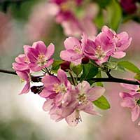Photograph of pinkish Cherry Blossoms in Fair Park, Dallas, Texas.