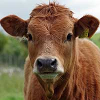 Photograph of brown cow with tagged ear looking at camera.